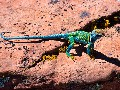 Local Wildlife - Collared Lizard