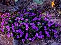 Spring in the Desert brings amazing Wildflowers